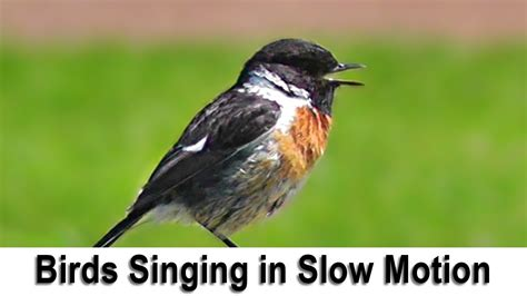 birds singing and chirping in slow motion with slowed down