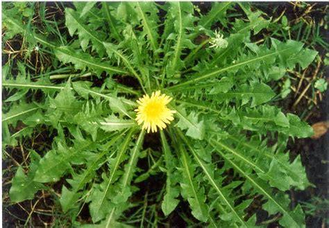 Obat Herbal Tempuyung herb info indonesia tempuyung sonchus arvensis cure