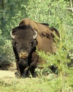 wood le wood buffalo national park