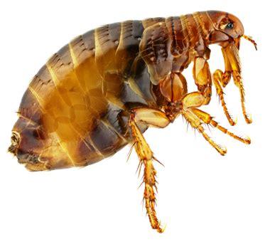 Bed Bug Look Like Einleitung Parasiten Nager