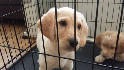 labradoodles puppies for sale hshire labradoodle puppies macclesfield cheshire pets4homes