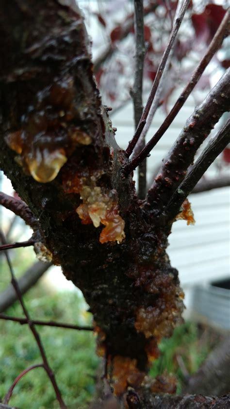 japanese ornamental plum tree disease concern ask an expert