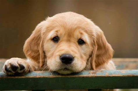 golden retriever puppy care adorable golden retriever puppy doglers