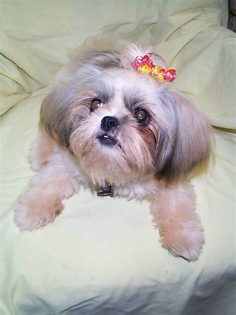 shih tzu information shih tzu breed information puppies pictures
