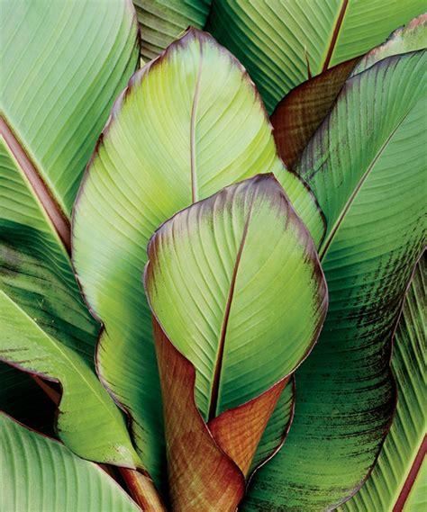 Tropical Plants Book - red banana ensete maurelii proven winners