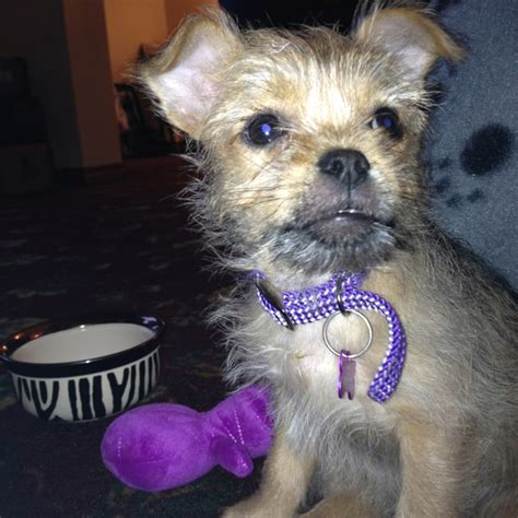 yorkie pug mix for sale pug yorkie mix breeds picture