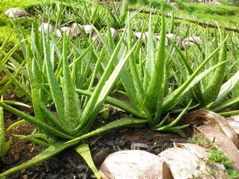 Aloevera The Herb by Aloe Vera Plant In The Desert Www Pixshark Images