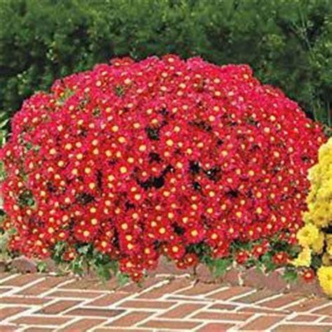 red daisy hardy mammoth mums sun from springhillnursery com