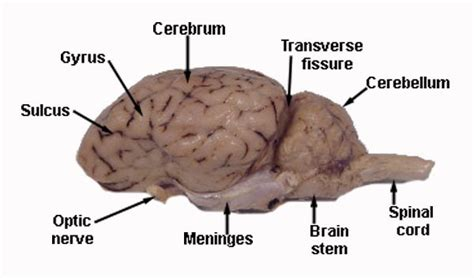 sheep brain diagram sheep brain diagram pictures to pin on pinsdaddy