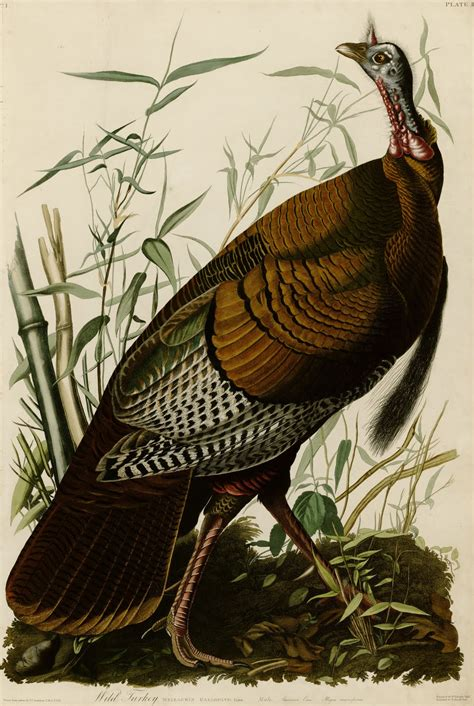 innerbohemienne wild turkey from the birds of america