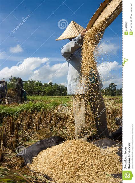 rice winnowing  bali indonesia editorial stock image