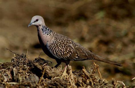 Tempat Makan Burung Merpati gambar burung dara merpati dan sejenisnya 187 alihamdan