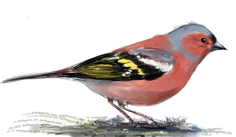 birds chaffinch