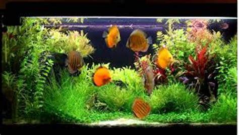 Pakan Ikan Hias Discus cara merawat ikan hias diskus ikan hias air tawar laut