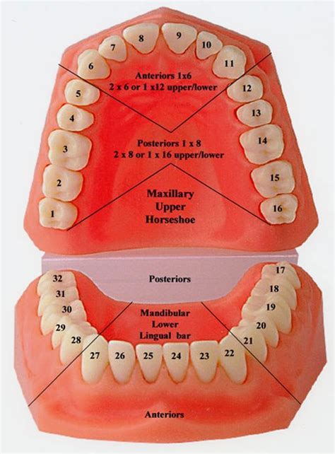 tooth diagram tooth numbers and illustrations