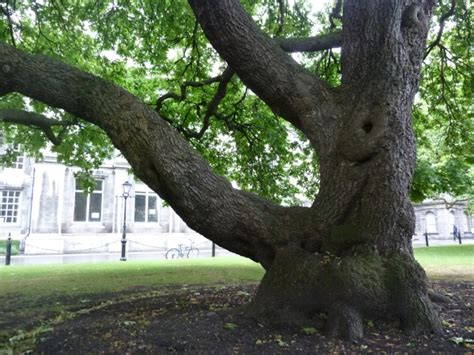 College Trees - monumental trees on the grounds of the college in