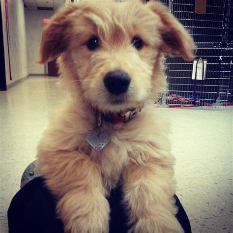 golden retriever bichon mix bichon golden retriever mix search puppies