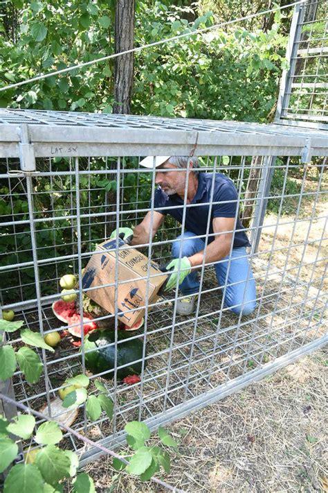 gabbie per cinghiali parco della galleana ecco la gabbia per intrappolare il