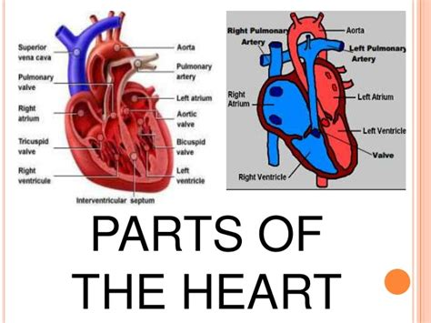 sections of the heart heart