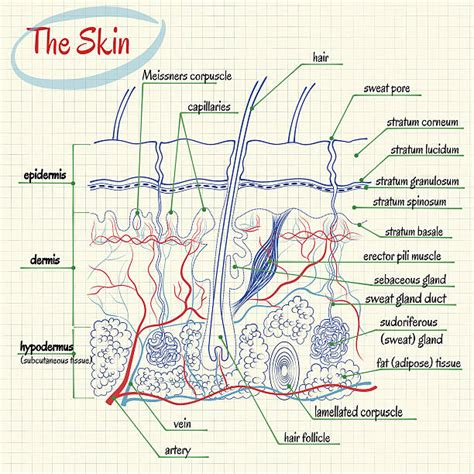 skin anatomy stock images royalty free images vectors royalty free dermis clip vector images illustrations istock