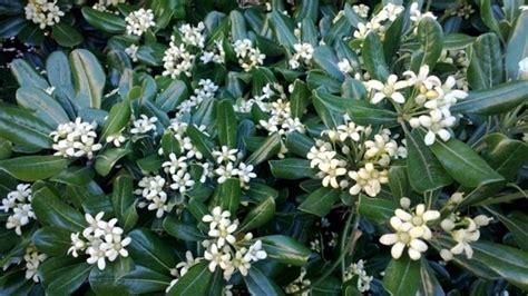 piante da giardino con fiori profumati siepi profumate siepi siepi con piante profumate