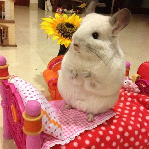 chinchilla bedding bubu the chinchilla will steal your heart with its cuteness