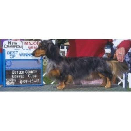 dachshund puppies missouri wire hair dachshund puppies missouri breeds picture