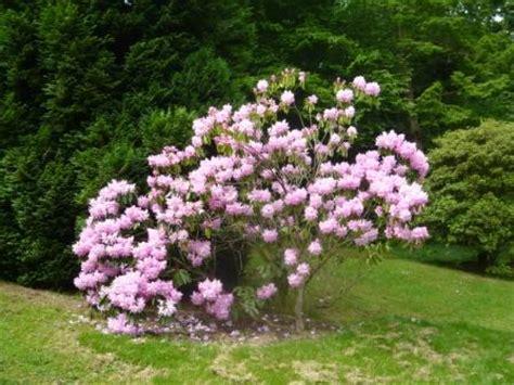 easy flowering shrubs pruning flowering shrubs the easy way gardeners tips