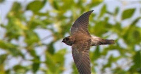 Pakan Walet Tradisional gambar karakteristik burung walet kebiasaan habitatnya 4
