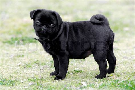 free black pug puppies a black pug puppy stock photo colourbox