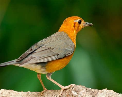 zul ya birds of peninsular malaysia orange headed thrush