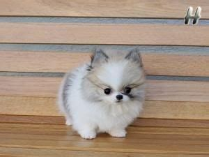 teacup husky pomeranian mix teacup pomeranian husky mix want dogs i want a