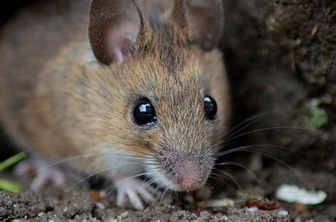 Garden Mouse by Eye Reflection Of A Wood Mouse Talk Photography
