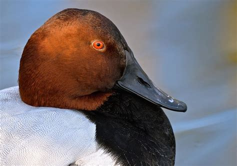 google images ducks 17 best images about canvasback on pinterest feed corn