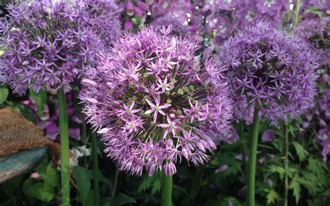 fiore aglio aglio da fiore un aromatica originale in terrazzo