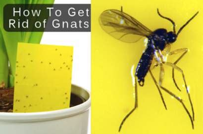 how to get rid of gnats homestead survival