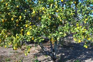 ch au portugal photo de limonier citronnier citrus