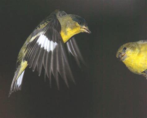 backyard birds salt lake city lesser goldfinch