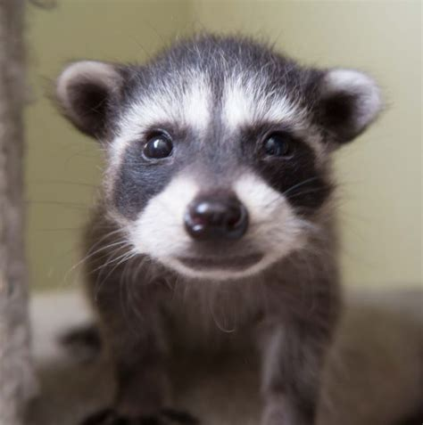 baby marder orphaned baby raccoons at wildcare huffpost