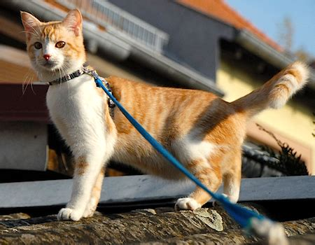 how to walk on leash don t walk your cat on a leash