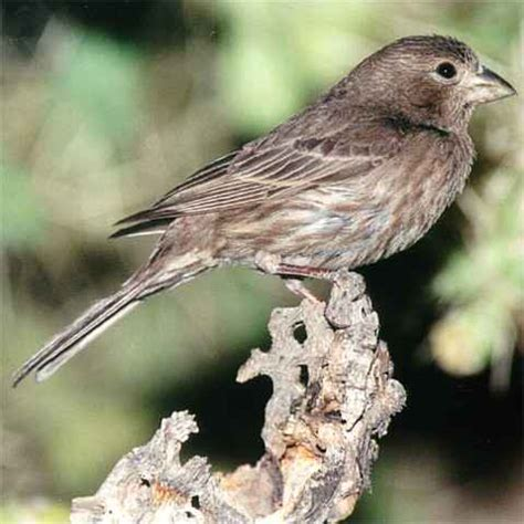 photographs of house finches and the birds on the arizona