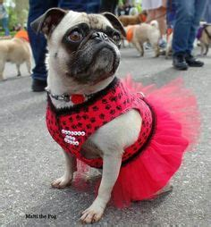 pug in a tutu 1000 images about pugs on pug pug and the pug