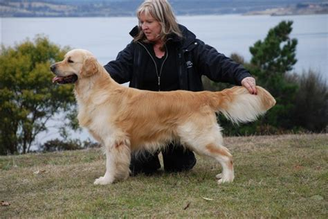 beaucroft golden retrievers beaucroft golden retrievers news