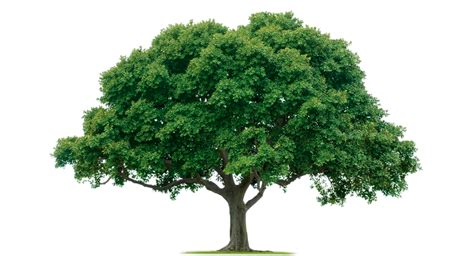 Home tree free images at clker com vector clip art online royalty free amp public domain