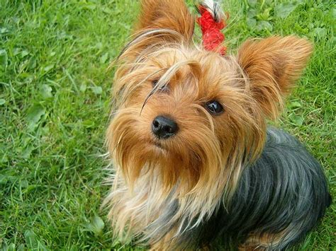 terrier yorkie terrier the of animals