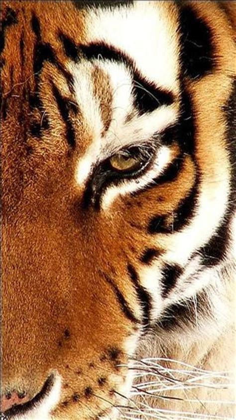 wallpaper iphone tiger siberian tiger 2 animal iphone wallpapers iphone 5 s 4 s