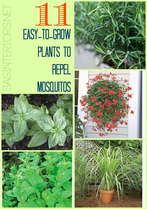 11 easy to grow plants to repel mosquitos jenna burger