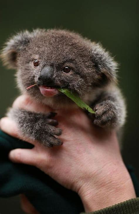 wallpaper iphone koala koala pictures wallpapers 65 wallpapers hd wallpapers