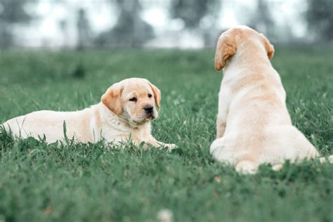 Modern Yellow by 7 Reasons The Labrador Retriever Is So Popular American