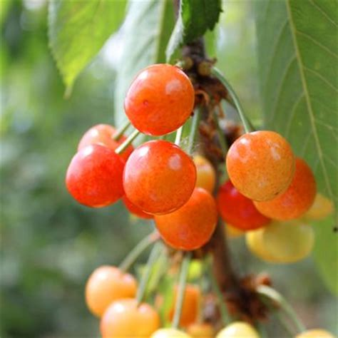 cherry tree yellow fruit rainier cherry tree sweet large similar to skin yellow highly blushed attractive